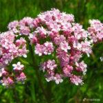 Валериана – одно из известнейших лекарственных растен